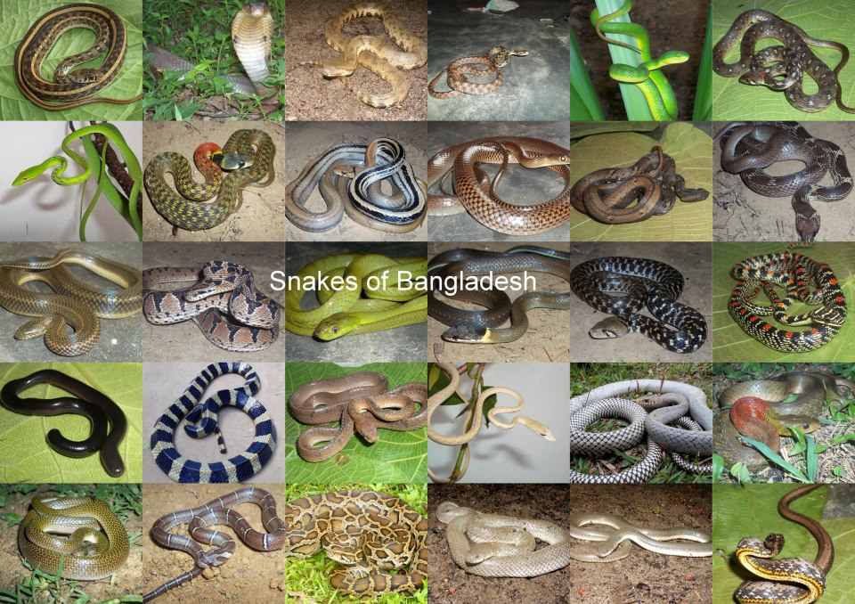 colorful snakes of bangladesh