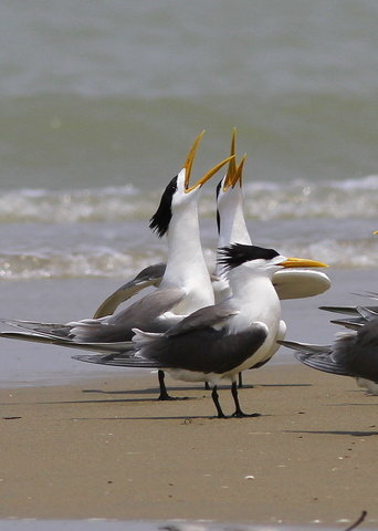 Great Crested Tern Sonadia Island, Cox's Bazar, Bangladesh