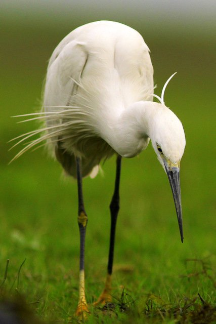 Little Egret  Tanguar Haor