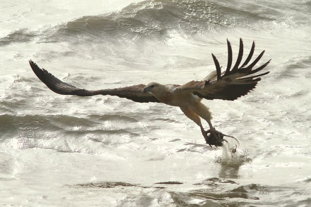 White-bellied Sea Eagle grabbed a rodent! Sundarbans