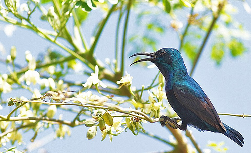 বেগুনী মৌটুসি - male purple sunbird- certhia asiaticus