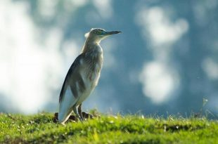 Indian Pond Heron .environmentmove.com